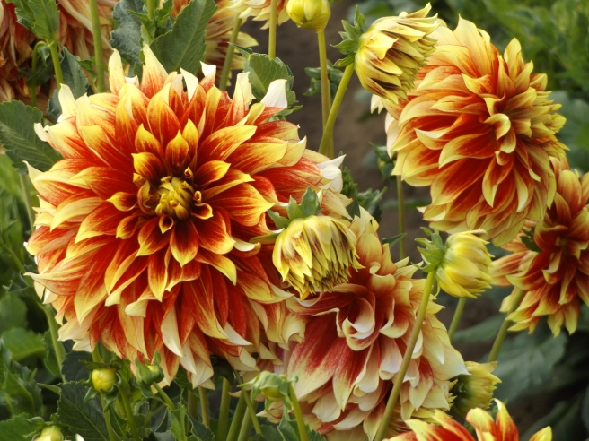 Flamethrower dahlias