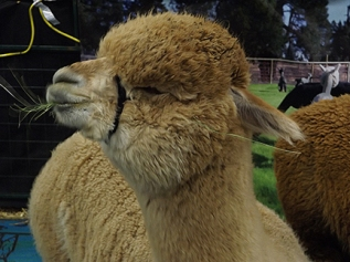 Alpaca munching hay