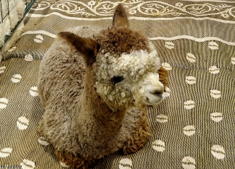 Alpaca on blanket