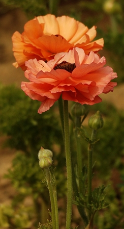 Ranunculus4