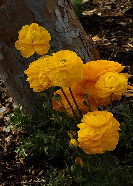 Ranunculus5