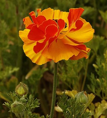 Ranunculus6