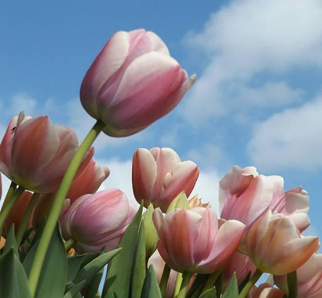 Woodburn tulips1a