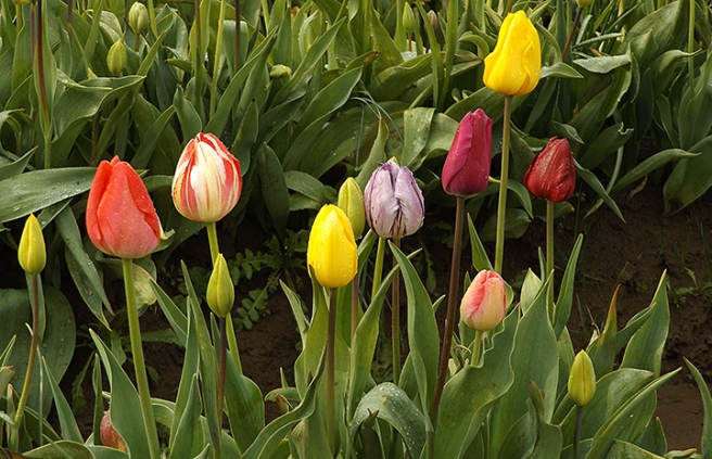 Wooden Shoe tulip buds