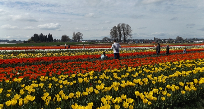 Wooden Shoe's tulip field1