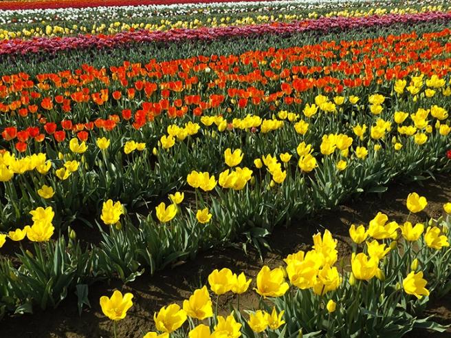 Wooden Shoe's tulip field2