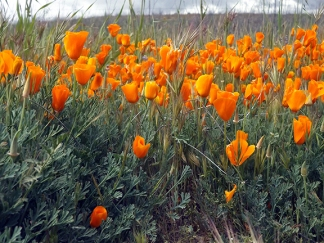 California-poppies-Carrizo-Plain