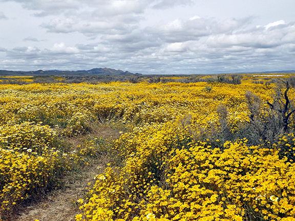 Carrizo-Plain-flowers1