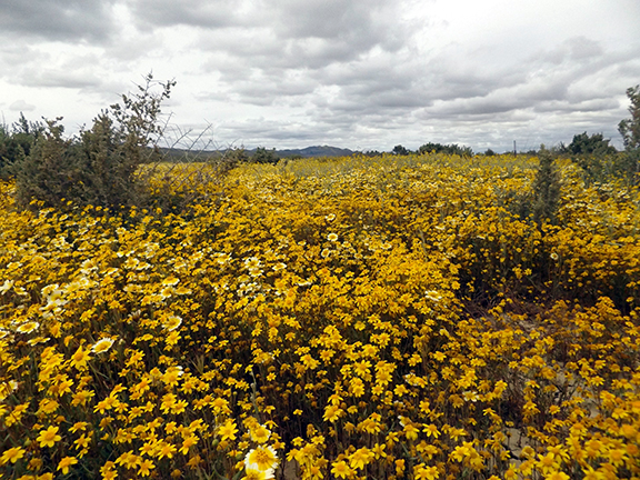 Carrizo-Plain-flowers2