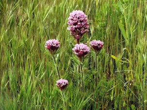 Purple-owls-clover-Carrizo-Plain