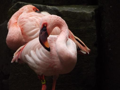 Flamingoes-Oregon-Zoo
