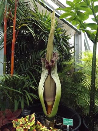 corpse-plant-Foster-Botanical-Garden-Honolulu