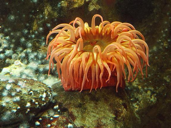 red-sea-urchin-at-Shedd-Aquarium-Chicago
