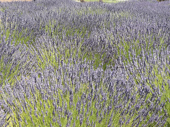 Selah-Ridge-Lavender-Farm-field