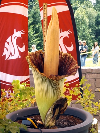 Rare Corpse Flower In Full Bloom At Wsu Vancouver Tabby Cat S Pawprints