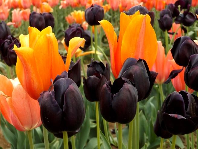 Wooden-Shoe-tulips-Woodburn