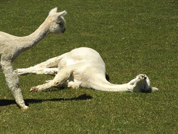 alpaca-resting