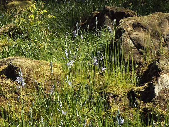 Camas-lilies-Lacamas-Regional-Park3