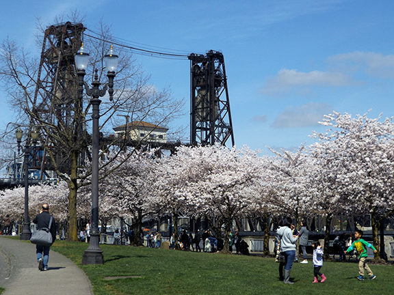 cherry-blossoms-Portland-Waterfront1