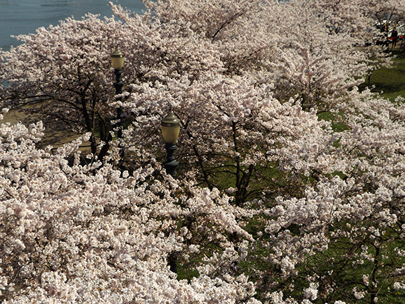 cherry-blossoms-Portland-Waterfront10