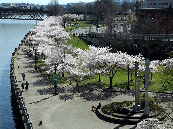 cherry-blossoms-Portland-Waterfront11