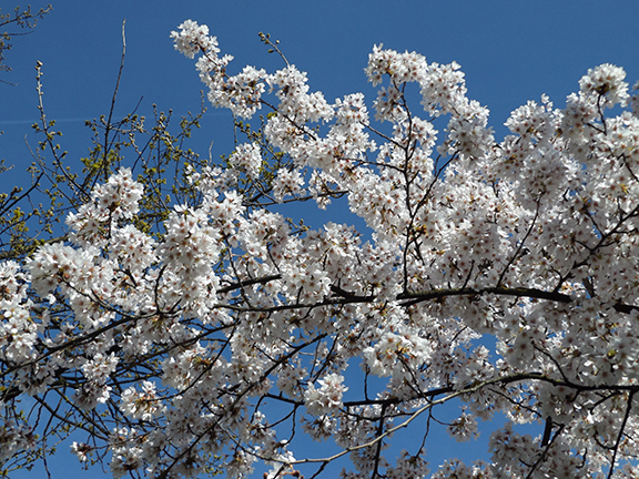 cherry-blossoms-Portland-Waterfront13