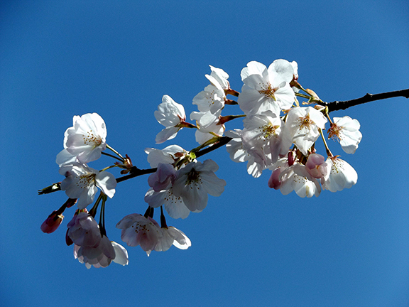 cherry-blossoms-Portland-Waterfront14