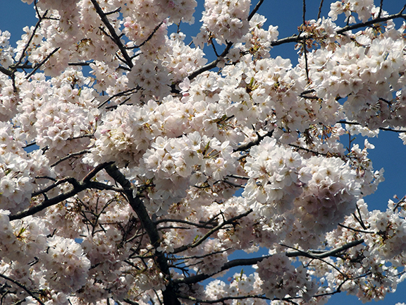 cherry-blossoms-Portland-Waterfront2