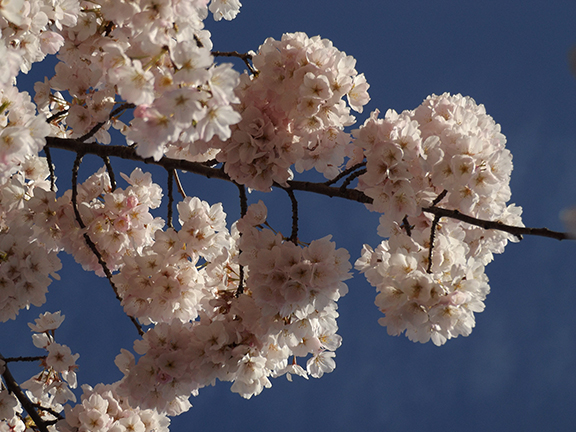 cherry-blossoms-Portland-Waterfront3