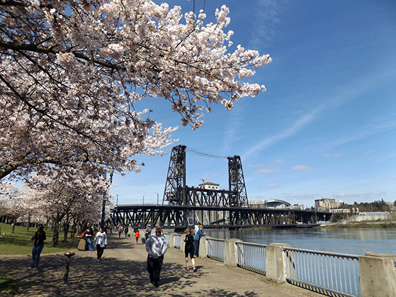 cherry-blossoms-Portland-Waterfront4