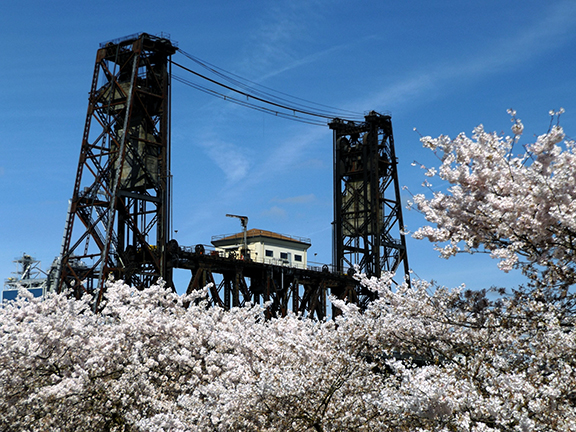 cherry-blossoms-Portland-Waterfront5