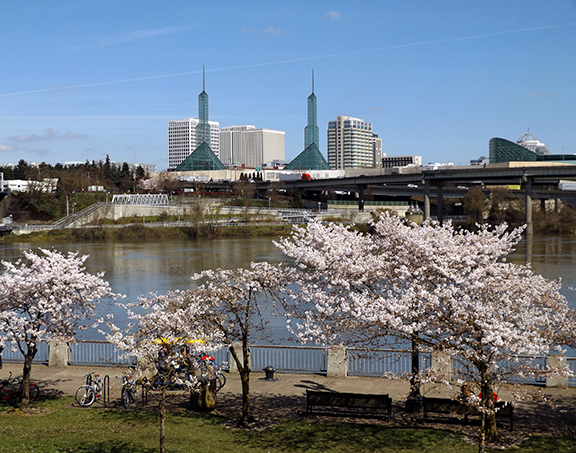 cherry-blossoms-Portland-Waterfront6