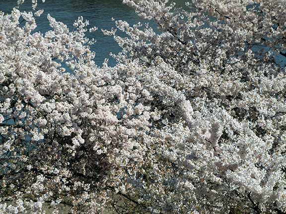 cherry-blossoms-Portland-Waterfront7
