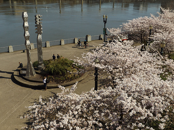 cherry-blossoms-Portland-Waterfront8