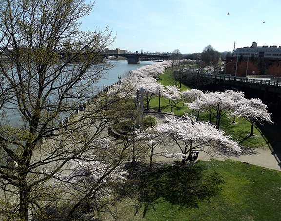 cherry-blossoms-Portland-Waterfront9