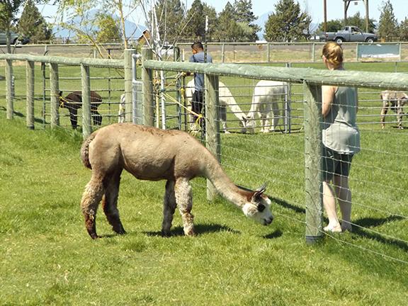 feeding-alpaca2