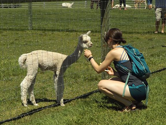 feeding-alpaca3