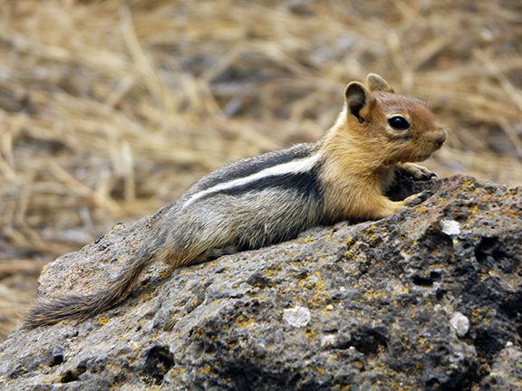 ground-squirrel-Newberry-National-Volcanic-Monument1