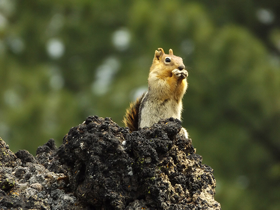 ground-squirrel-Newberry-National-Volcanic-Monument2
