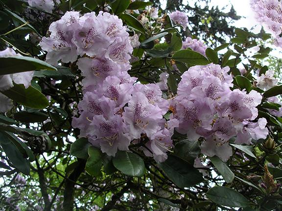 Hendricks-Park-Rhododendron-Garden-Eugene15
