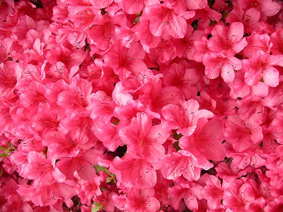 Hendricks-Park-Rhododendron-Garden-Eugene23