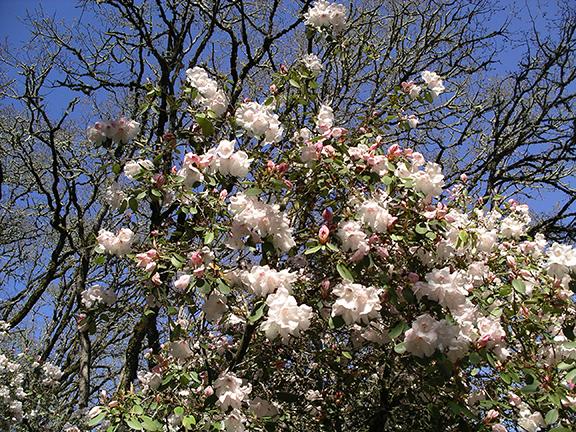 Hendricks-Park-Rhododendron-Garden-Eugene4