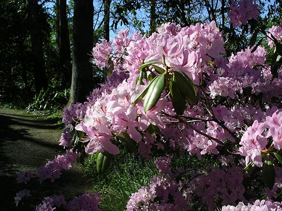Hendricks-Park-Rhododendron-Garden-Eugene6