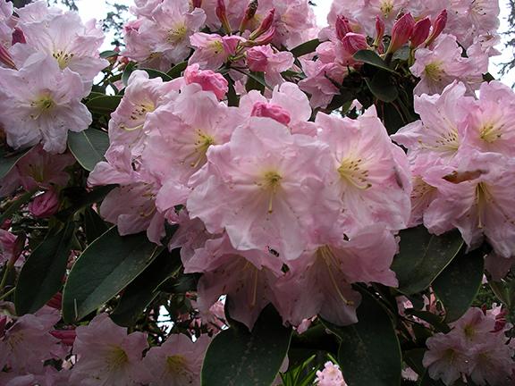 Hendricks-Park-Rhododendron-Garden-Eugene8