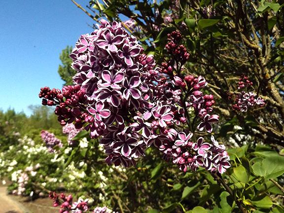 Hulda-Klager-Lilac-Gardens-Woodland15