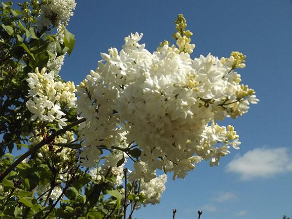 Hulda-Klager-Lilac-Gardens-Woodland16