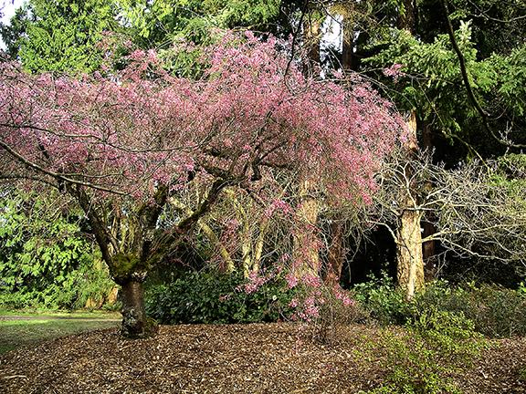 Kubota-Garden-spring-Seattle