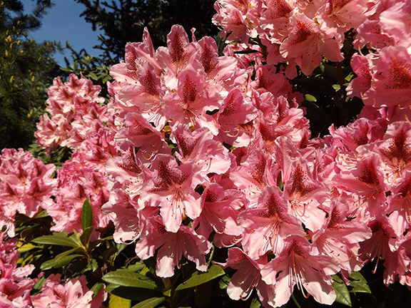 rhododendron-The-Gorge-White-House-Fruit-Loop