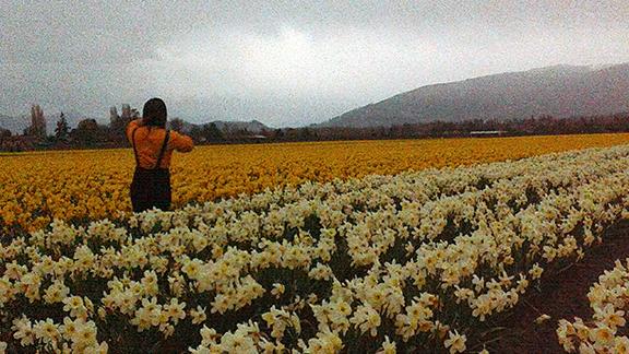 Roozengaarde-daffodil-fields-Skagit-Valley