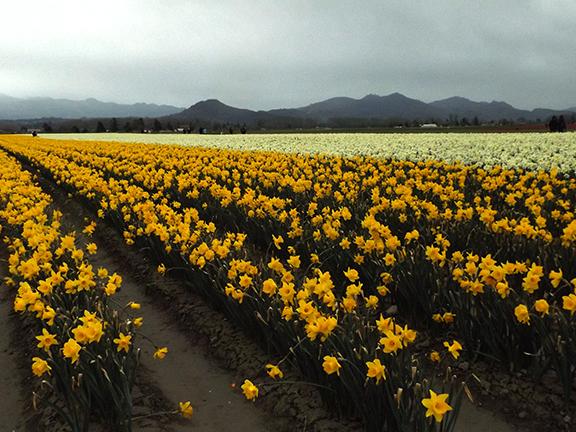 Roozengaarde-daffodil-fields-Skagit-Valley2